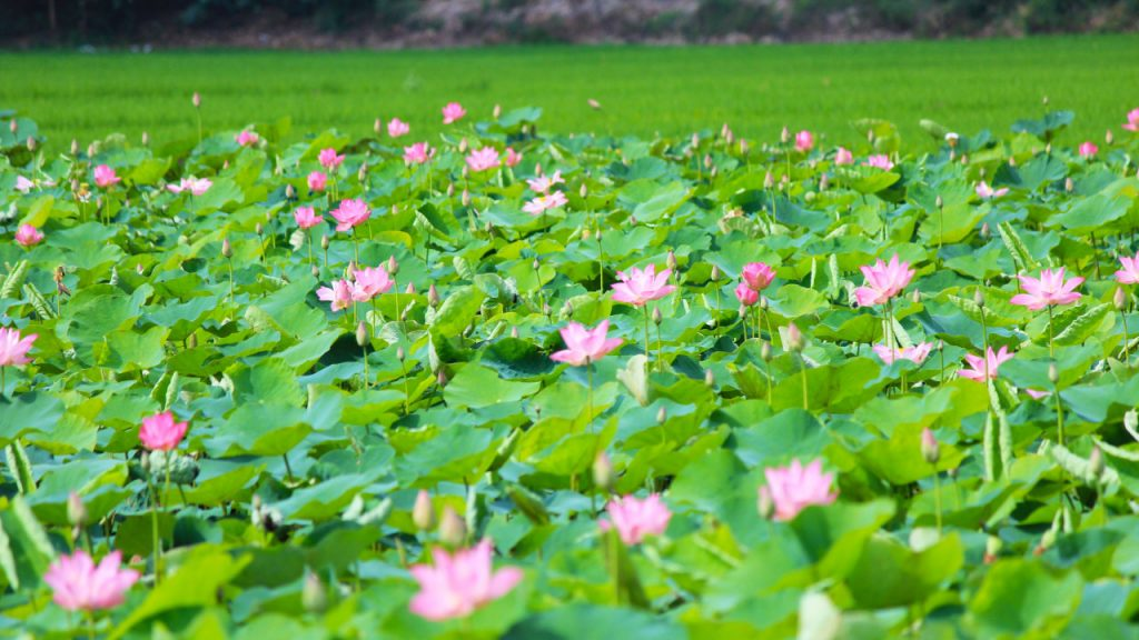 Beautiful lotus ponds - beautiful sightseeing view