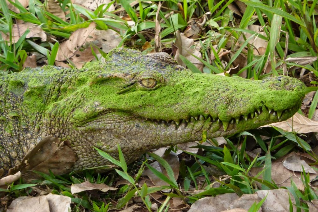 Siamese crocodile is a typical animal in Nam Cat Tien