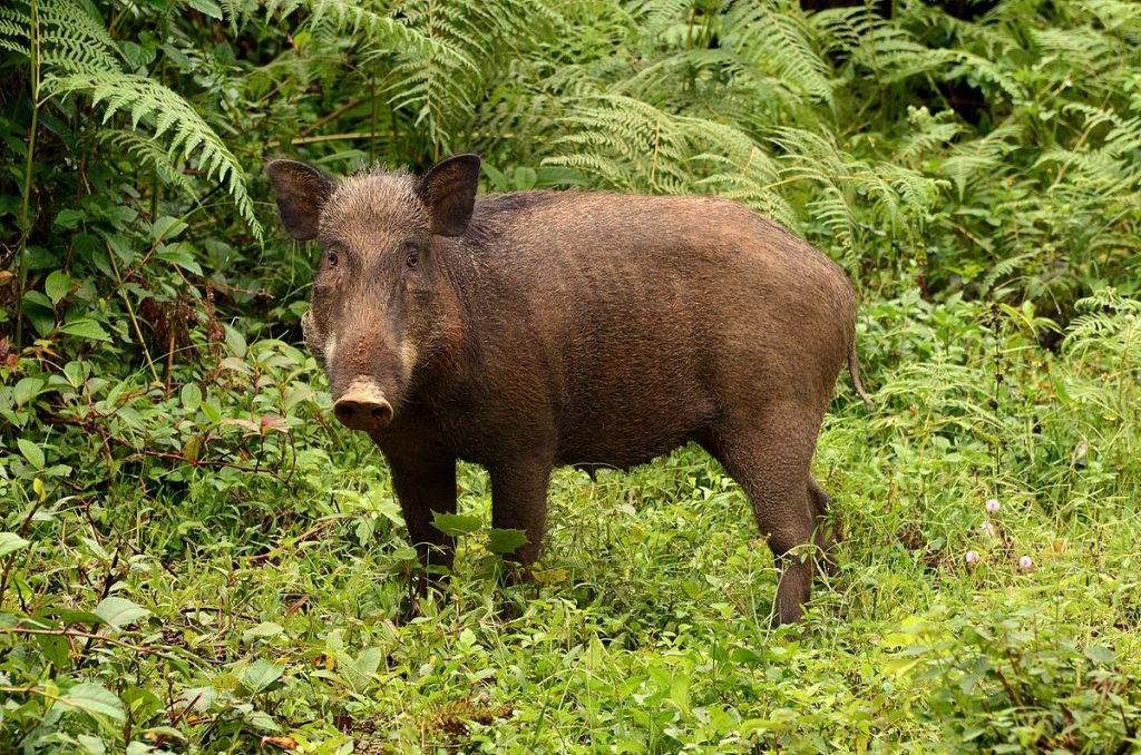 Travelers might encounter wild pigs by chance