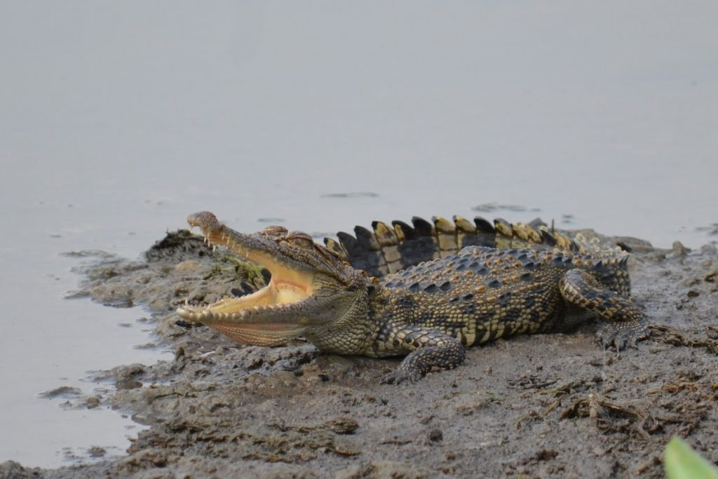 Trekking to Bau Sau is the best time to explore crocodiles in the nature